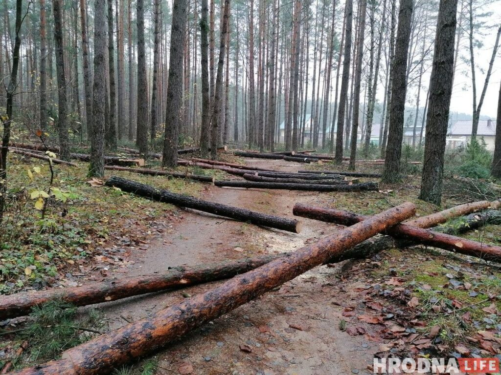Лососно-4 рубка леса