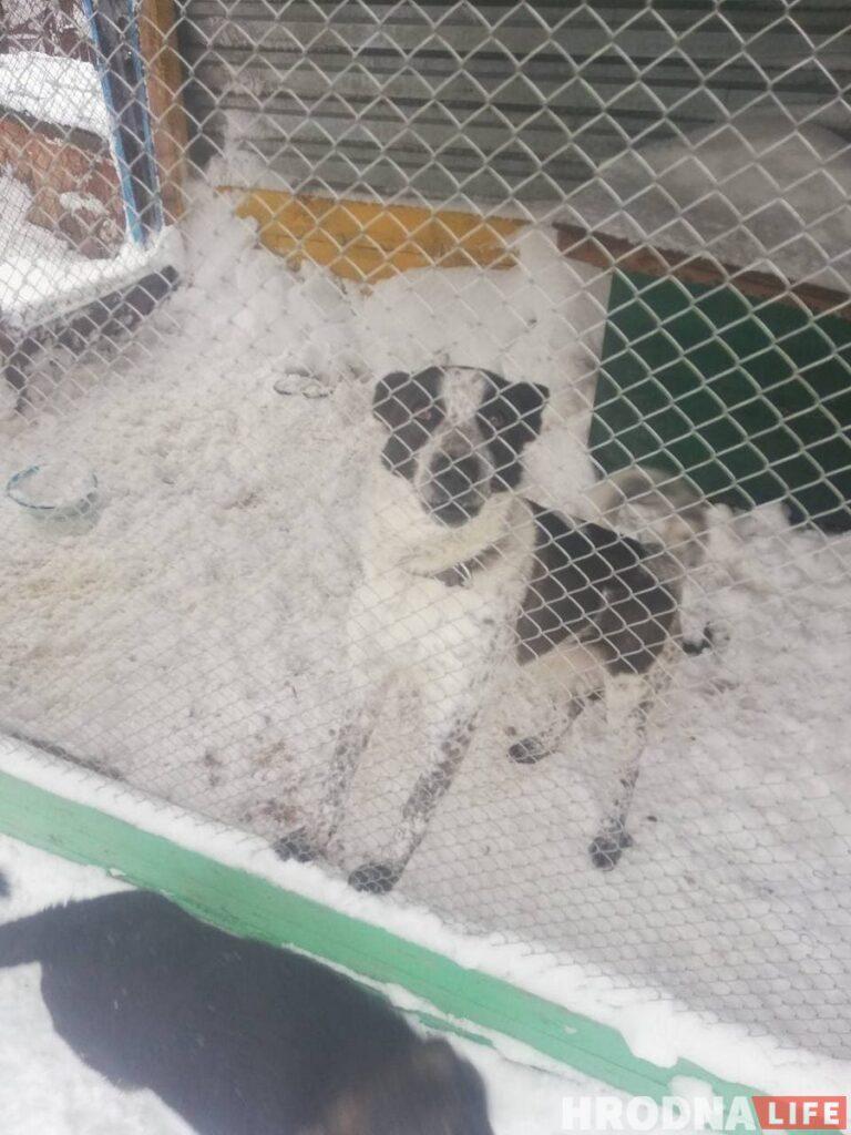 """Спасли из сугробов: гродненцы помогли волонтерам расчистить заваленный снегом """"домик для собак"""""""