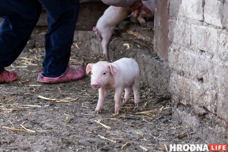Фотоистория про 22 поросенка. У хозяйки из Гродненской области свиноматка родила рекорд