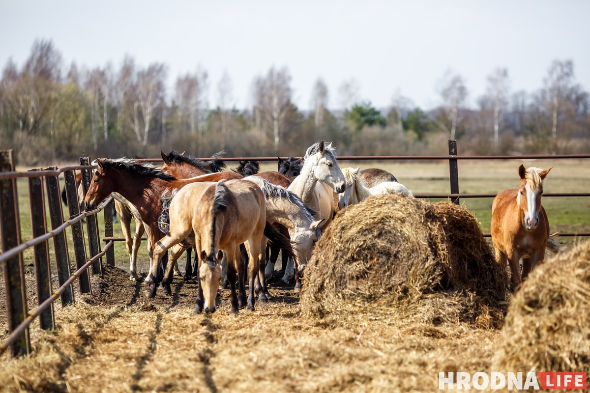 Жеребята в летнем загоне - левадии, конюшня Эйтуны, совхоз Лидский